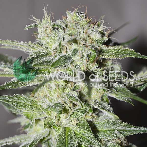 Pakistan Valley Regular - 10 seeds - World of Seeds
