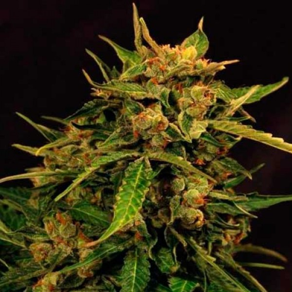 RUSSIAN AUTO - Exotic Seed