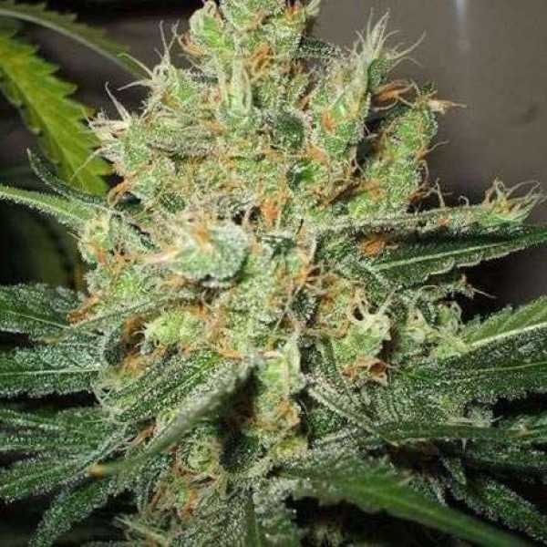 PURE POWER PLANT FEM 5 SEEDS - Nirvana