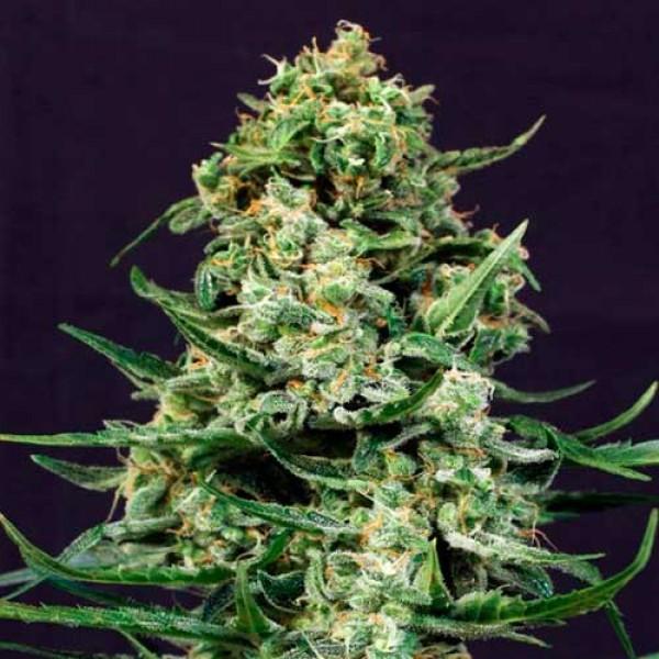 SIR JACK - Exotic Seed