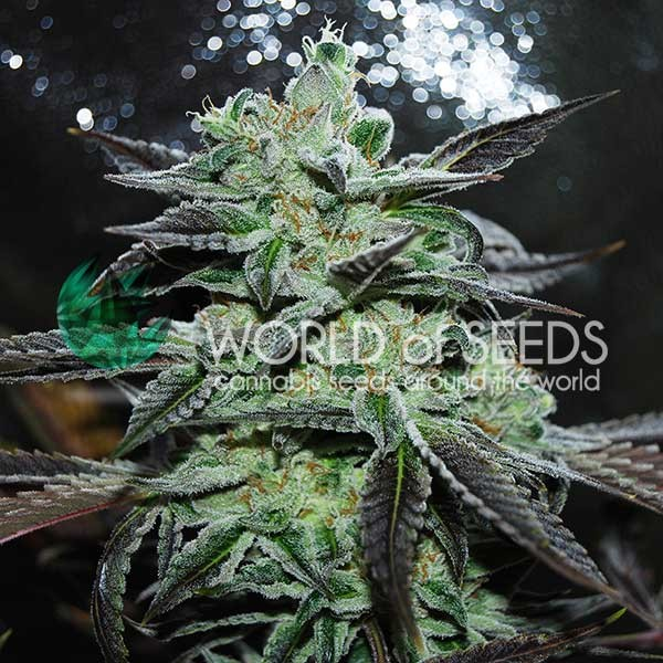 Strawberry Blue - World of Seeds
