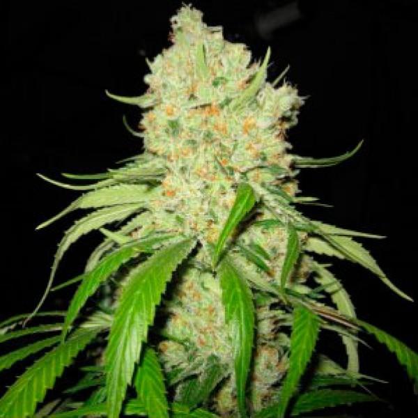 Strawberry Fields  - 5 seeds - Sagarmatha