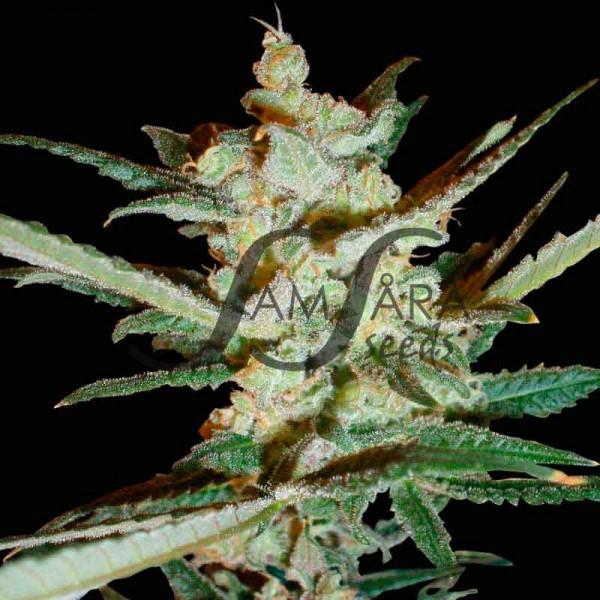 SUPERSONIC CRISTAL STORM  - Samsara Seeds