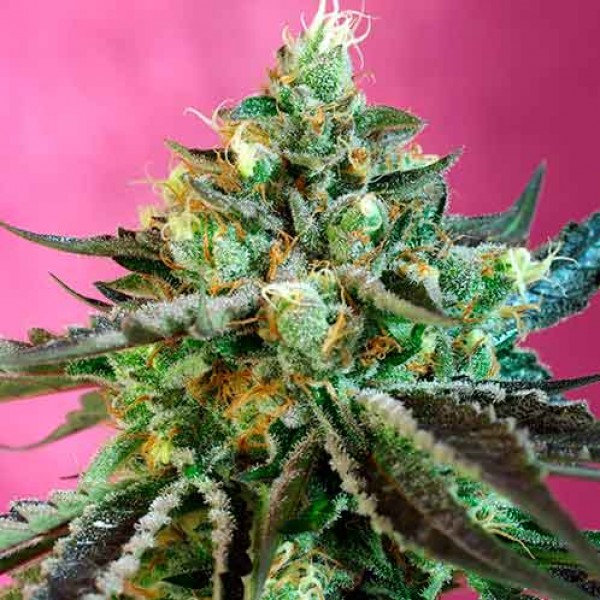 Sweet Nurse Auto CBD - Sweet Seeds