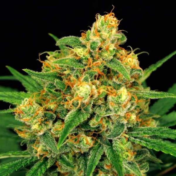 TANGERINE KUSH - Exotic Seed