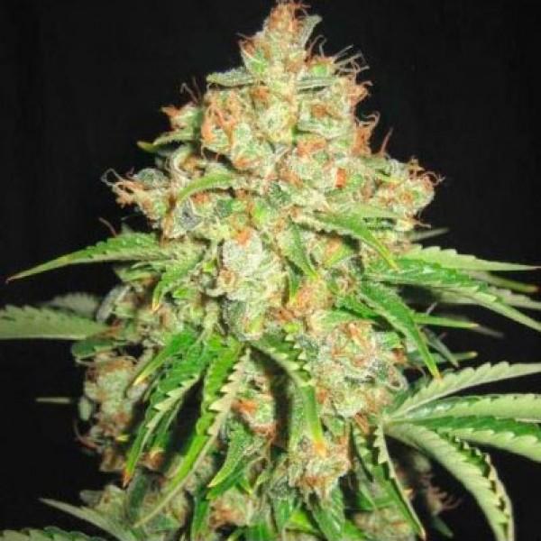 White Russian - 5 seeds - Sagarmatha