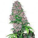 Purple Bud Fem