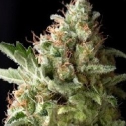 AUTO AMERICAN PIE - Pyramid Seeds