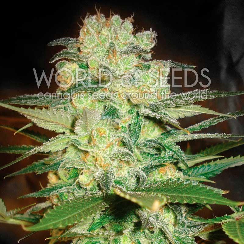 Afghan Kush x White Widow - World of Seeds