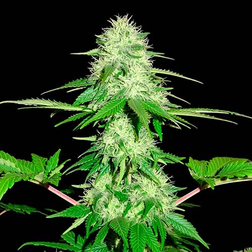 Appleberry  - 3 seeds - Sumo Seeds