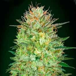 Auto Sweet Critical - 5 seeds - 00 Seeds