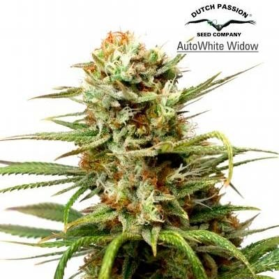 AUTO WHITE WIDOW  - Dutch Passion