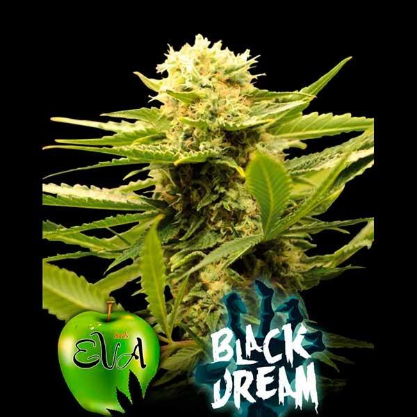 BLACK DREAM - Eva Seeds