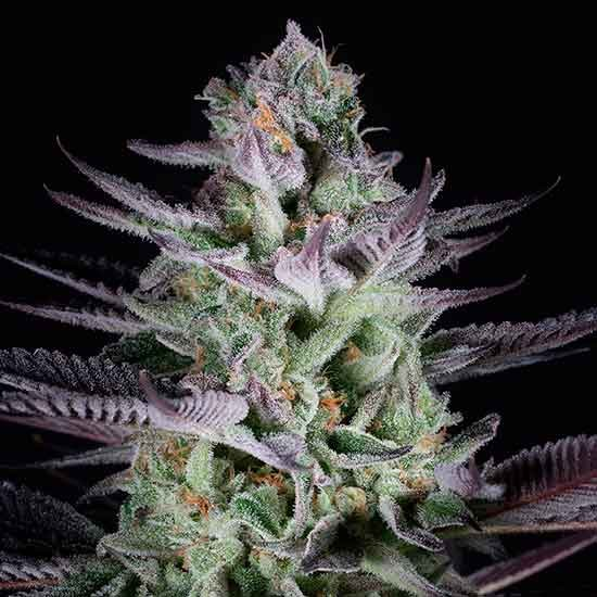 Blueberry Cookies - Dinafem