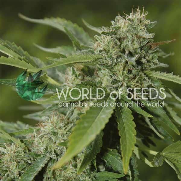 Brazil Amazonia Regular - 10 Semillas - World of Seeds