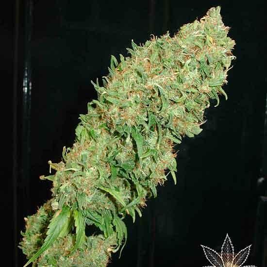 Caramella Auto - 5 seeds - Fantaseeds