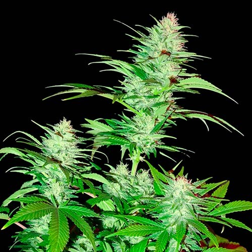 Critical Chronic  - 3 seeds - Sumo Seeds