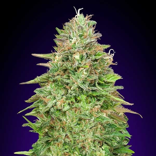 Critical Poison Fast - 5 seeds - 00 Seeds