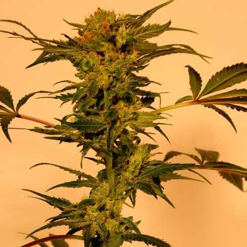 DEVIL KUSH REGULAR - Exotic Seed
