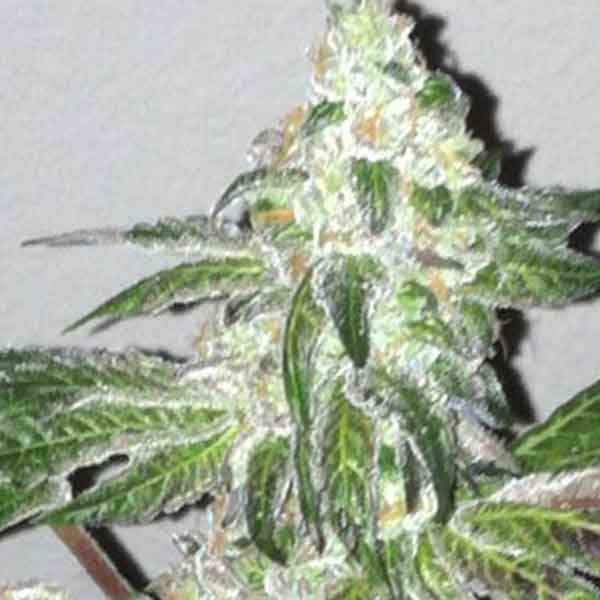 Girl Scout Cookies - 6 seeds - The Cali Connection