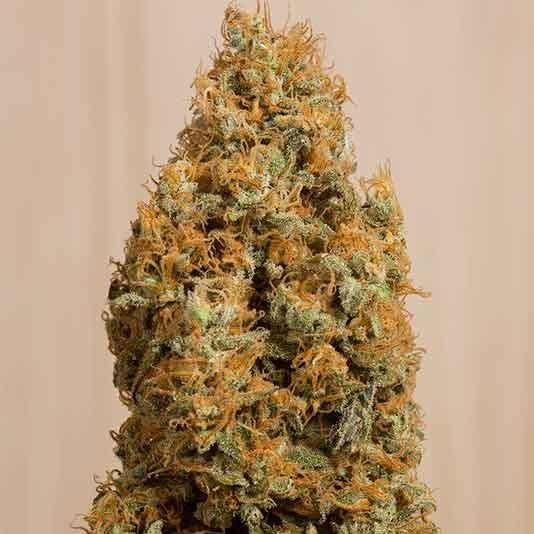 Green Crack CBD - Humboldt Seeds