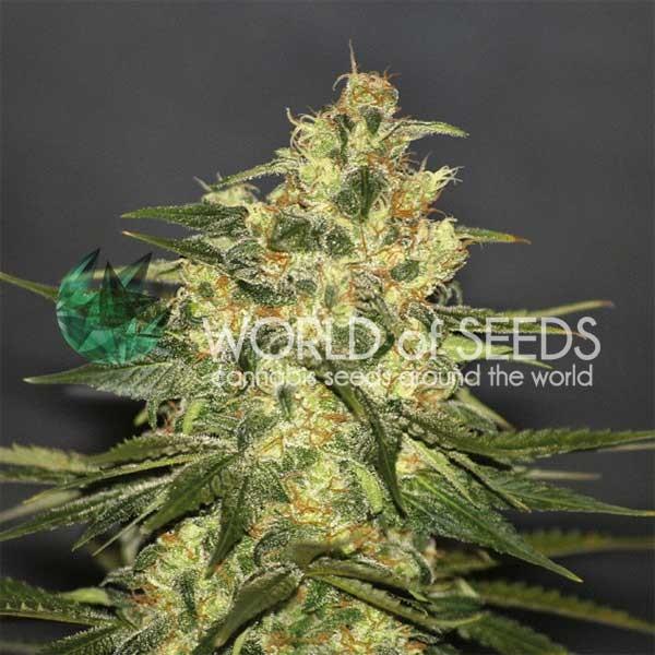 Ketama Regular - 10 Semillas - World of Seeds