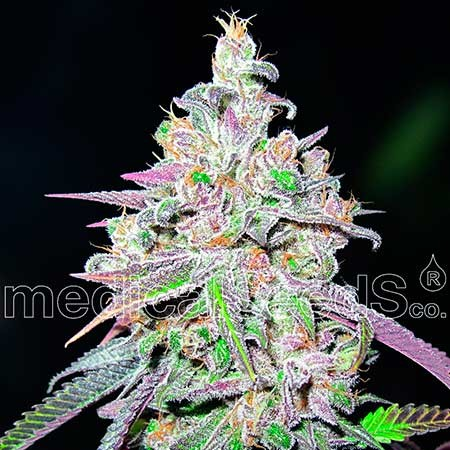 Mendocino Chanel Kush - Medical Seeds