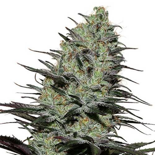 MORPHEUS - Buddha Seeds