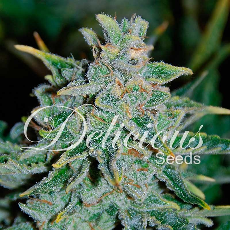 Northern Light Blue Auto - Autoflorecientes - Semillas