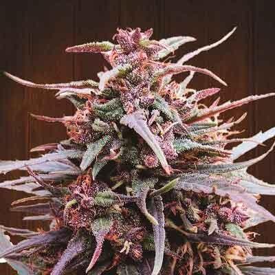 Purple Haze x Malawi  - Ace Seeds