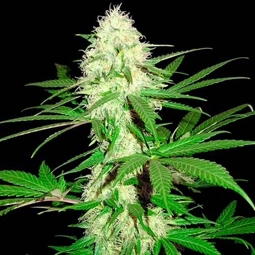 Sumos Big Bud - 3 seeds - Sumo Seeds