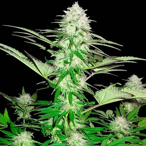 Sweet Harlem Diesel - 3 seeds - Sumo Seeds