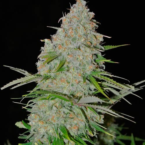 Ultimate AK - 3 seeds - Sumo Seeds