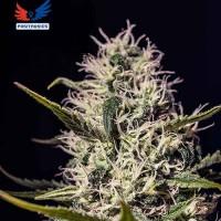 Comprar One Love Haze - 6 Seeds