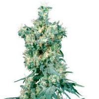 Comprar AMERICAN DREAM REGULAR (SENSI SEEDS)