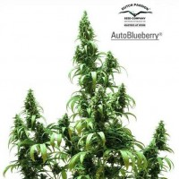 Comprar AUTO BLUEBERRY