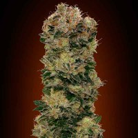 Comprar Auto Sweet Soma - 5 seeds