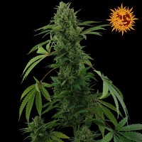 Comprar PINEAPPLE EXPRESS AUTO
