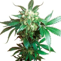 Comprar BLACK DOMINA FEM