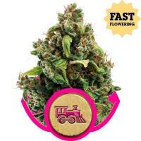 Comprar Candy Kush Express (Fast Flowering)