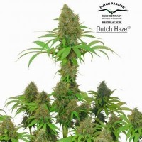 Comprar DUTCH HAZE