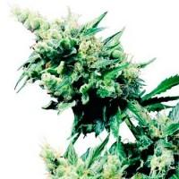 Comprar HASH PLANT REGULAR