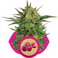 Comprar Haze Berry