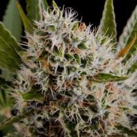 Comprar Lithium OG Kush Fem 5 Seeds