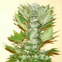 Comprar Misty Kush Fem 5 Seeds