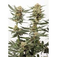 Comprar ORTEGA INDICA - 5 seeds