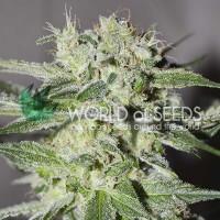 Comprar Pakistan Valley Regular - 10 seeds
