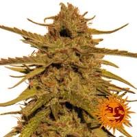 Comprar PINEAPPLE HAZE REGULAR - 10 seeds