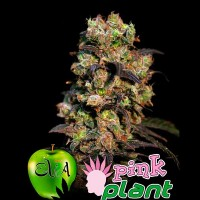 Comprar PINK PLANT