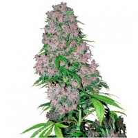 Comprar Purple Bud Fem